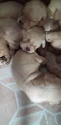 Filhotes  lab