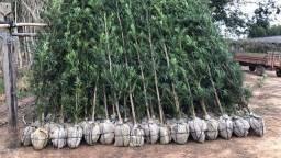 Título do anúncio: Podocarpus Gigantes 2,5m