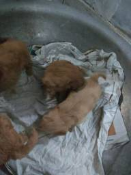 Filhotes de poodle toy 1