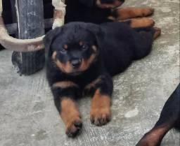Filhotes de Rottweiler do Canil Cave Canem disponíveis