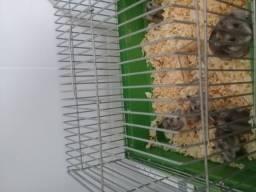 Hamsther 15reais