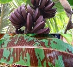 Planta ornamental - Acuminata Zebrina