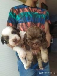 Vendo cachorros de Raça Shitzu com poodle