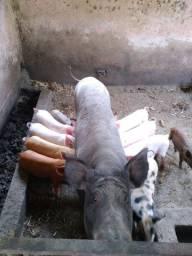 Porca com 10 leitão