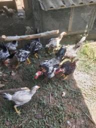 Vende-se frango caipira.