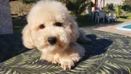 Poodle Toy verdadeiro Ursinho Machinho 5 meses vacinado