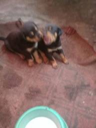 Vendo filhote de cachorro Rottwelier