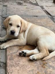 Filhote Labrador Caramelo