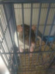 Ratinhos de laboratório