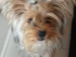 yorque terrier