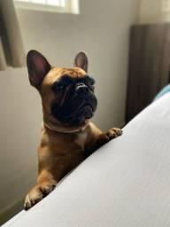 Bulldog Frances Macho Procura Namorada