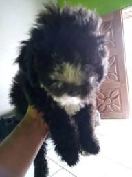 Poodle toy com maltês
