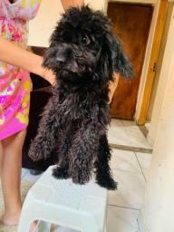 Cachorro poodle 6 mês