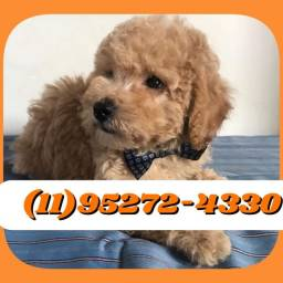 Poodle Macho Disponível para entrega