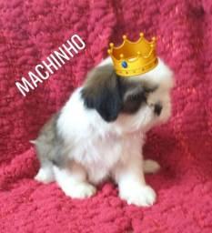 Filhote Shitzu Macho! Para quem procura porte bem Pequeno!