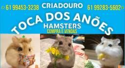 Hamster Anões Russos (Chinês)