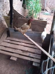 Vende-se galinha caipira
