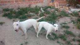 Breve teremos filhotes de Bull Terrier