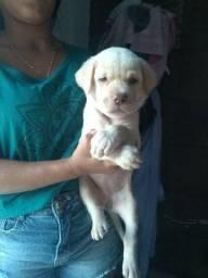 Filhote de Labrador Fêmea Albino