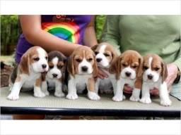 Beagle lindos filhote pedigree