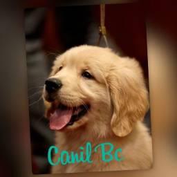 Filhotes!! Cães Golden Retrivier Com Pedigree ++ Garantia de Saúde