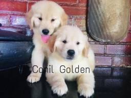Belos Cães!!! Golden Retrivier Filhote com Pedigree e Garantia de Saúde