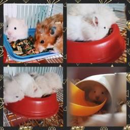 Filhote de Hamster disponíveis