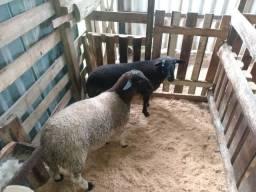 Borregos # ovelhas # carneiro