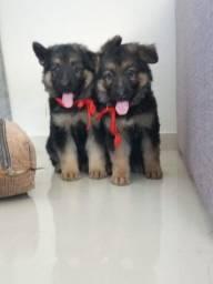 Filhote Altdeutscher Schäferhund Fêmea