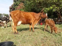 Vendo lote gado Leiteiras/Novilhas