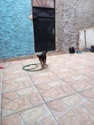 Cachorra pinscher