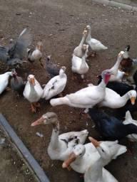 Casal de ganso comum