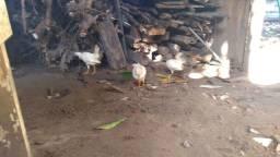 Casal de Filhote frango da índia.