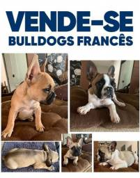 Bulldog francês com * PEDIGREE *
