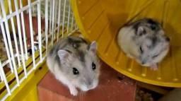 Hamster anao russo filhote 15 reais