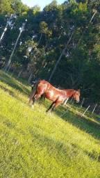 Cavalo crioulo confirmado!