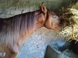Cavalo Alazão - Mangalarga Marchador - Excelente Oportunidade