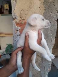 Filhote de Labrador misturado.