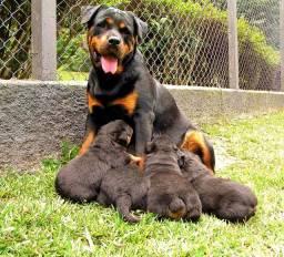Lindos filhotes de Rottweilers