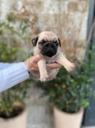 Filhotinho de Pug, desmamados a pronta entrega $$