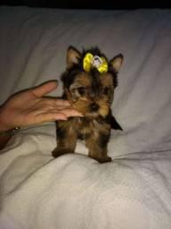 Linda fêmea yoskshire terrier pequenina