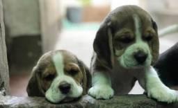 ## Amor## beagle filhote 13 Polegadas com Pedigree e Garantia de Saúde