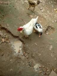Vendo esse casal de patos
