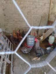 Vendo galos e galinhas tudo 40 reais só me chamar no no zp *