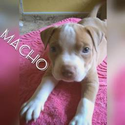American Bully / American Staffordshire Terrier