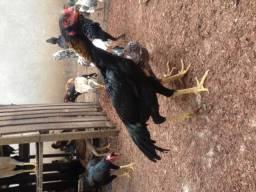 Galos, galinhas e frangos índios
