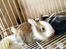 Vendo coelho por R$ 50,00
