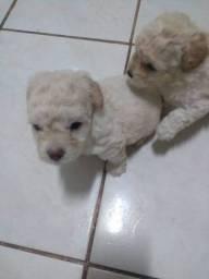 Filhotes Poodles mini toy