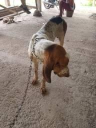 Vendo lindo cachorro de caça