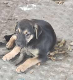 Labrador fêmea 2meses